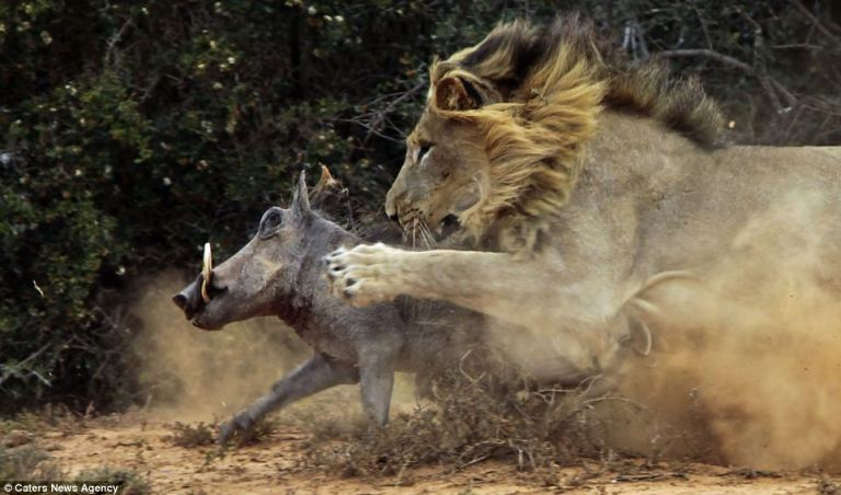 Warthog in path of hunngry lion